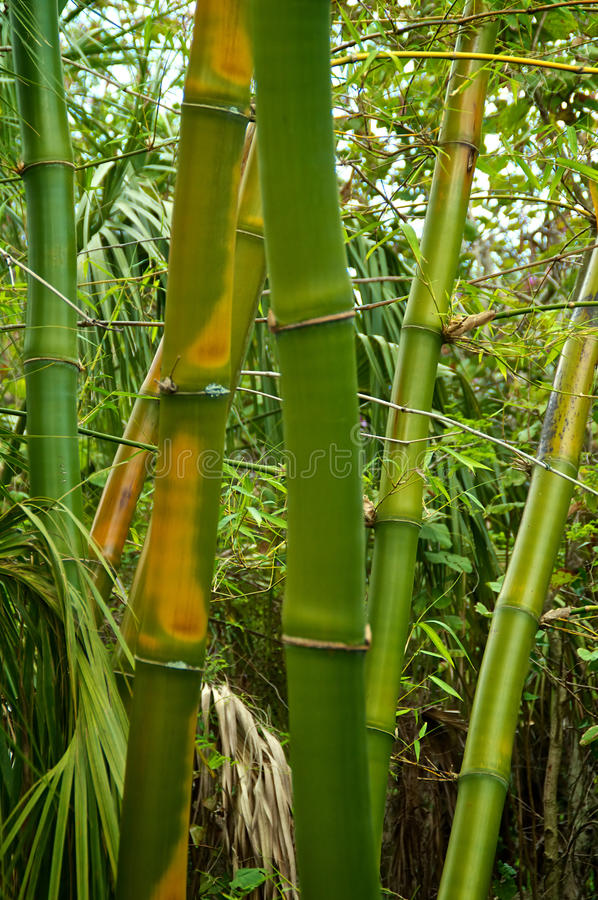 Download Green and golden bamboo stock photo. Image of sprouts - 38259250
