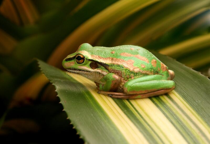 The Green and Golden Bell Frog stock images