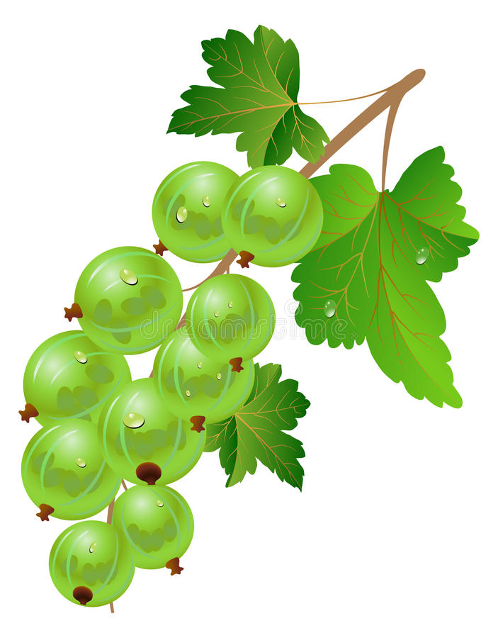 Download Green gooseberry stock vector. Illustration of food, pulpy - 14358072
