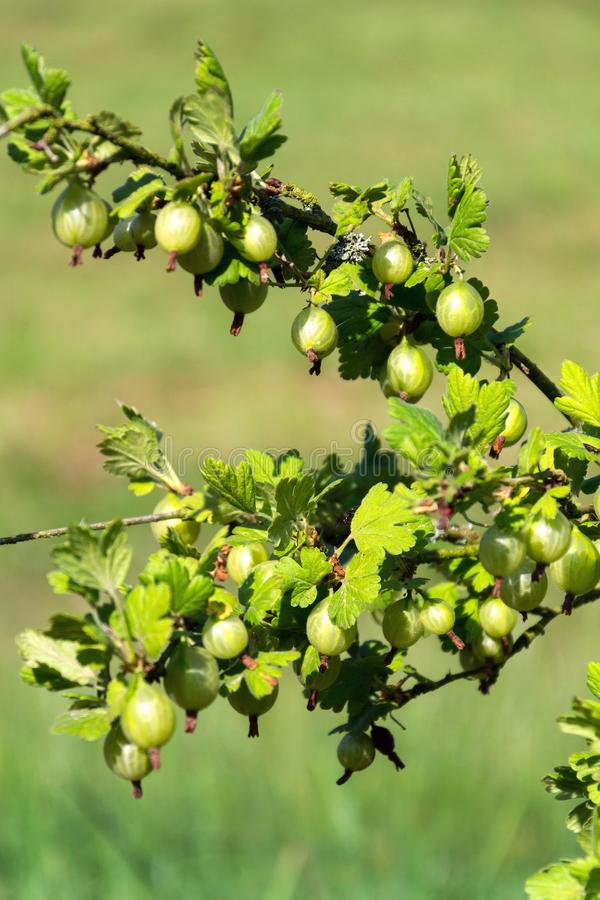 Green gooseberry fruit bush Ribes uva-crispa in garden. On sunny day, copy space royalty free stock image