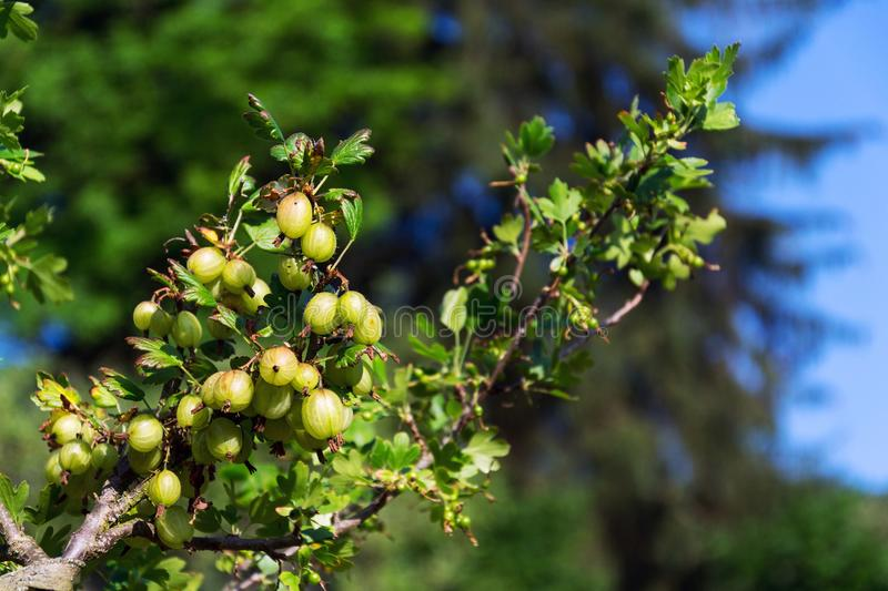 Green gooseberry fruit bush Ribes uva-crispa in garden. On sunny day, copy space royalty free stock photography
