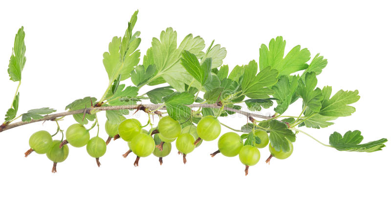 Green gooseberry isolated long branch. Gooseberry branch isolated on white background royalty free stock image