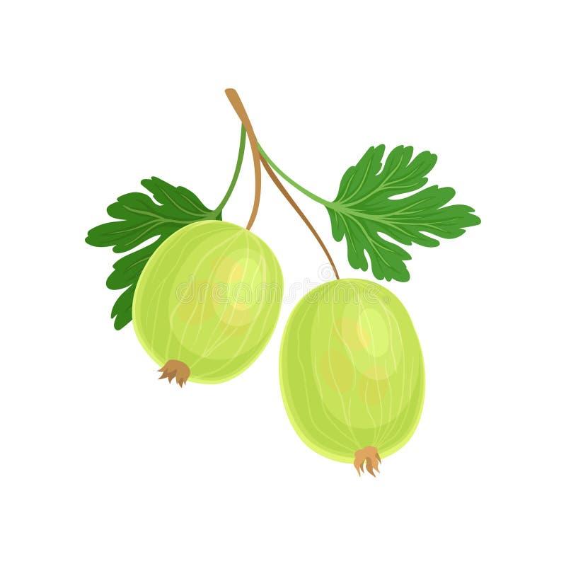 Green gooseberry on the stem. Vector illustration on white background. stock illustration