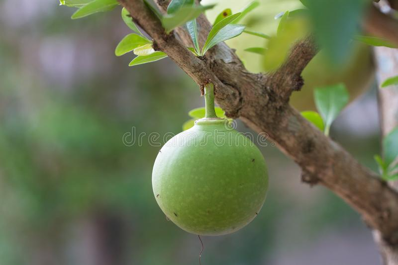 Green gourd. A little gourd growing on the tree stock photography