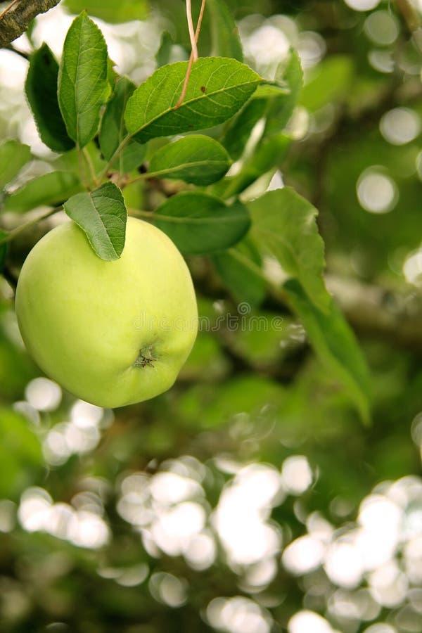 Green Granny Smith Apple royalty free stock photography