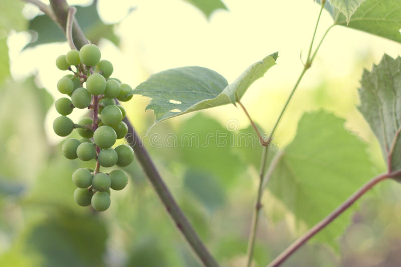 Green grape royalty free stock photo