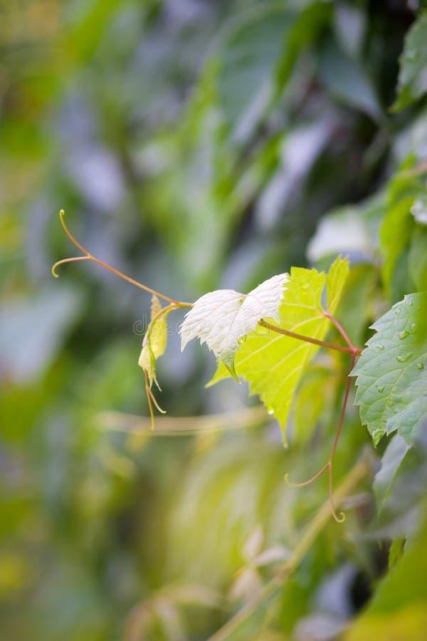 Green grape. Fresh green grape leaf on green background royalty free stock photos