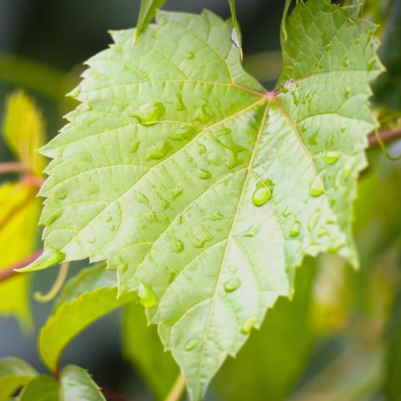 Green grape and drops of water. Quadrate background green grape leaf with drops of water royalty free stock image
