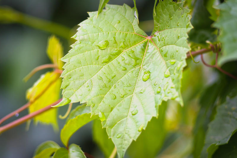 Green grape and drops of water. Young fresh green grape leaf with drops of water stock images