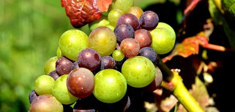 Green Grape Fruit royalty free stock photo
