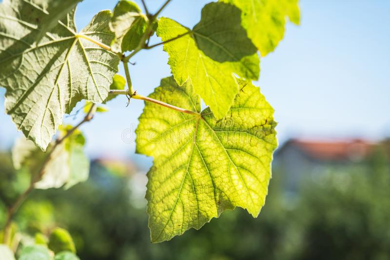 Green Grape Fruit Vine Leaves In Sunny Day With Soft Focus royalty free stock photos