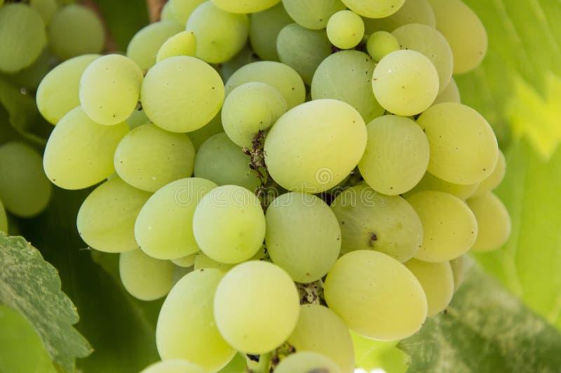 Green grape in the garden royalty free stock photos