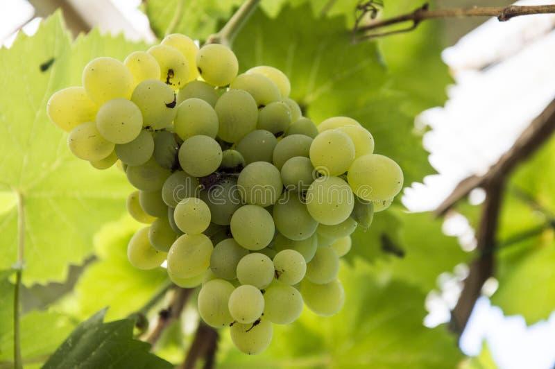 Green grape glowing. Background, gardeb, garden stock photography