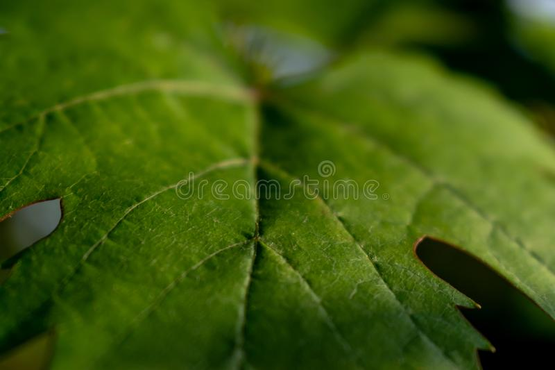 Green grape leaf texture. A green vine grape leaf close-up royalty free stock image