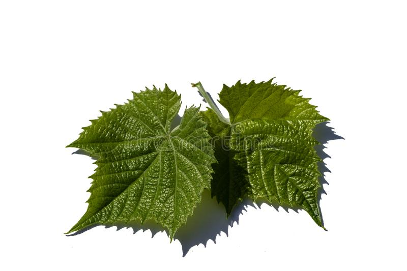 Green grape leaves isolated on white background royalty free stock images