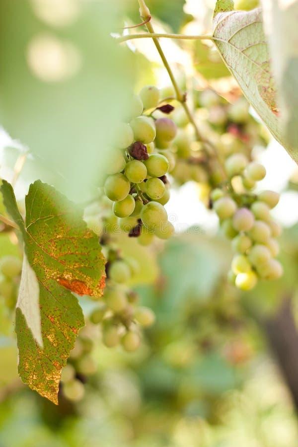 Green grape-vine