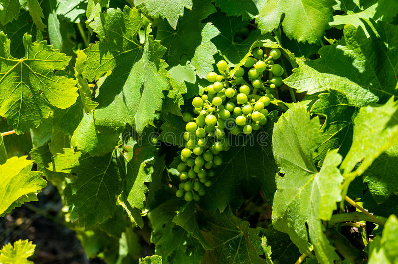 Green grape vines in grape leaves. Green grape vines hanging on a branch surrounded by lush green foliage. Country vineyard background with green grape vines in royalty free stock photography