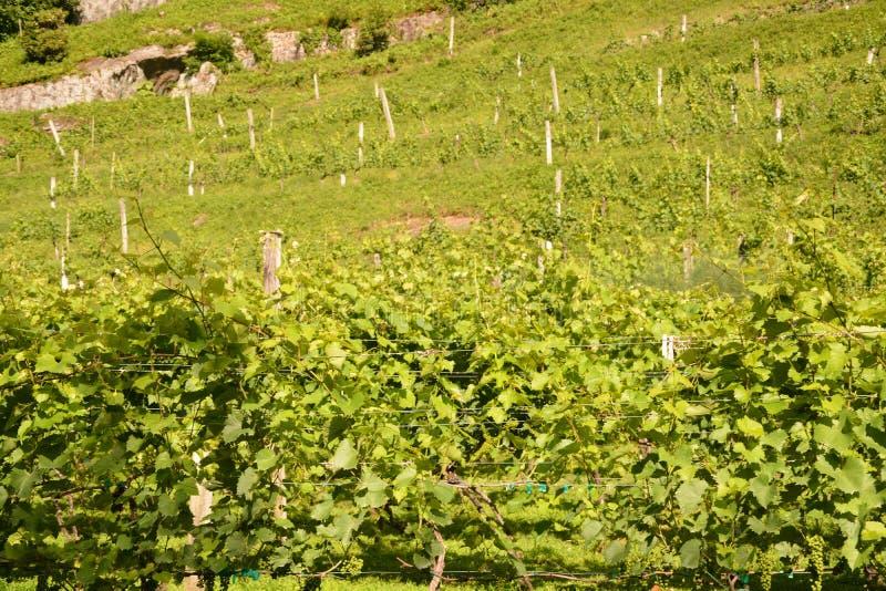 Green grape vines royalty free stock photo