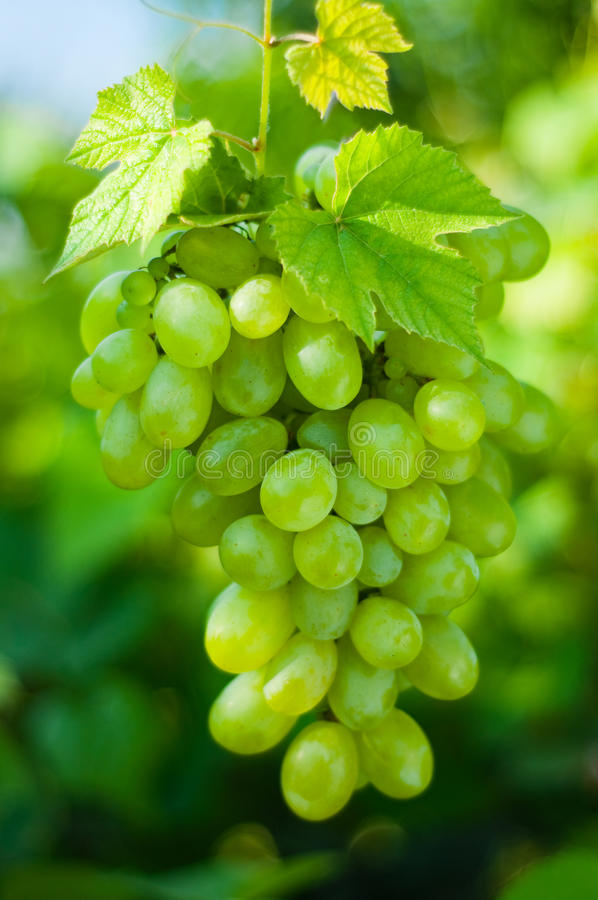 Free Green Grapes Royalty Free Stock Photo - 15408615