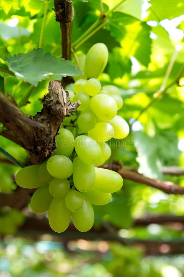Download Green Grapes Stock Photo - Image: 27567640