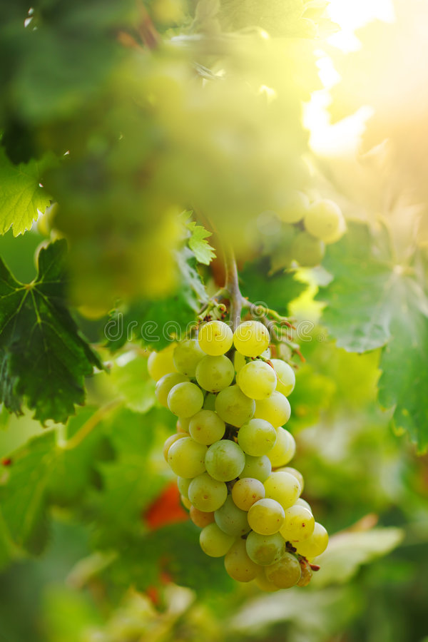 Green grapes. Bunch of green grapes on grapevine in vineyard. Shallow DOF stock images