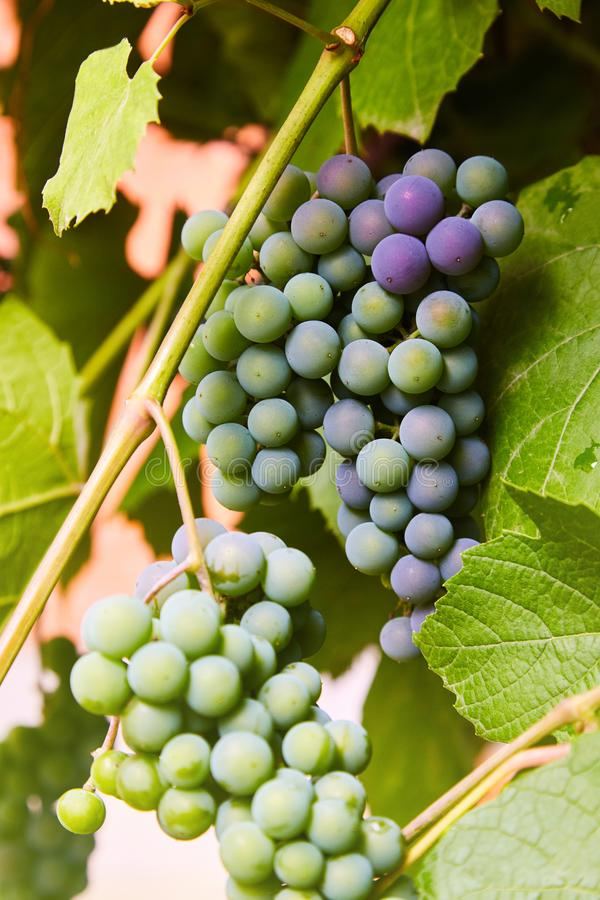Green grapes on a branch stock image