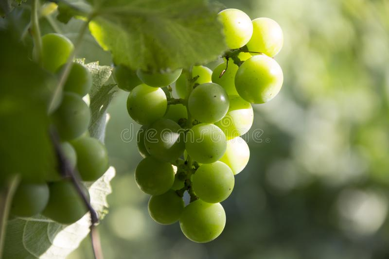 Green grapes, bunch will sing on vine. Cultivation of natural products, farm, vineyard, winemaking royalty free stock photos