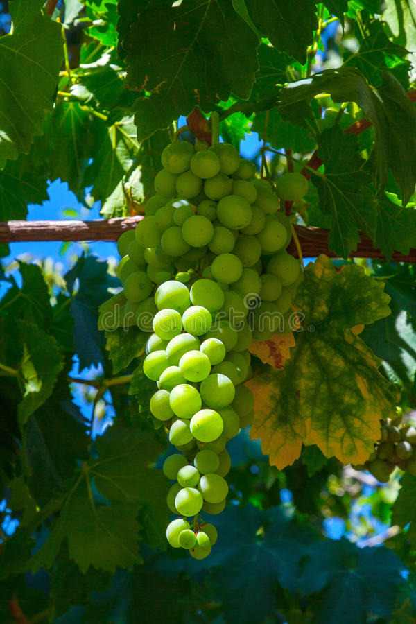 Green grapes cluster stock image