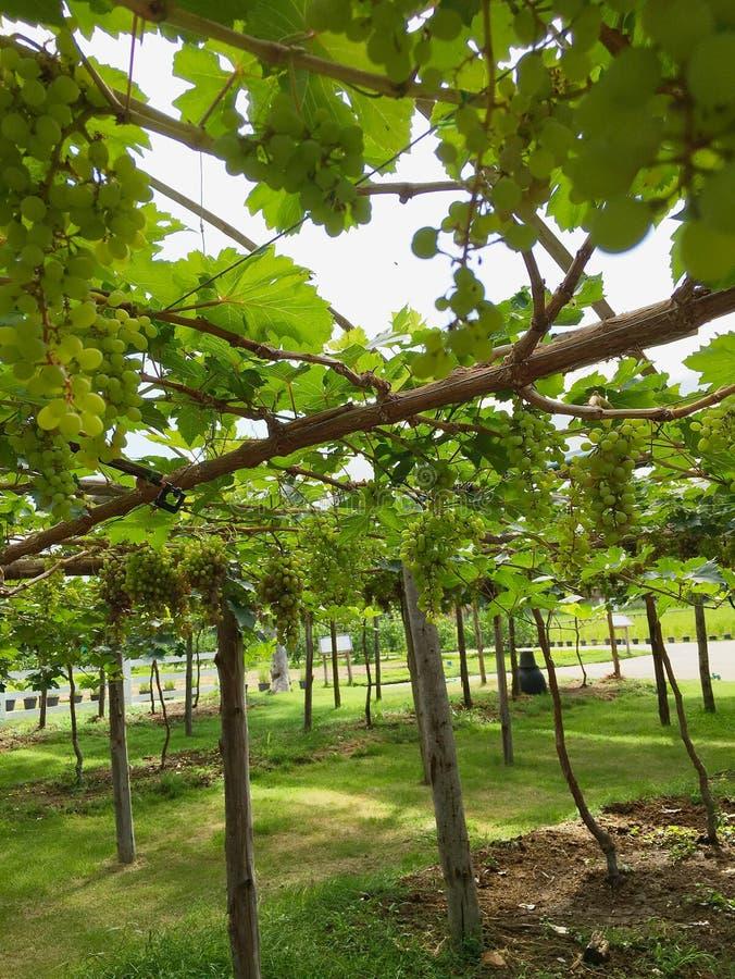 Green grapes garden stock photo