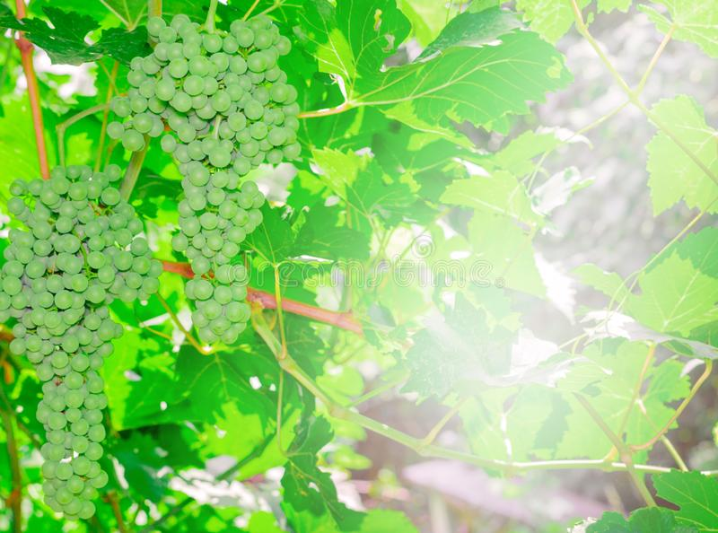 Green grapes in the garden royalty free stock image