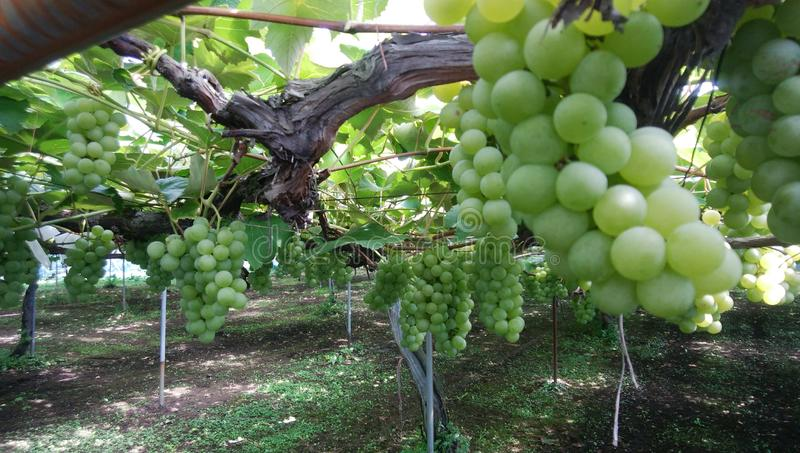 Green Grapes Grow In The Open Garden Stock Photo Image Of Design