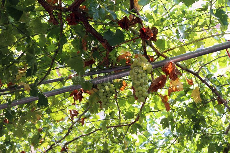 Green Grapes Hanging from Grape Vines, Low Angle View. Green grapes hanging from grape vines with plenty of leaves. Photographed during a sunny summer day in stock photography