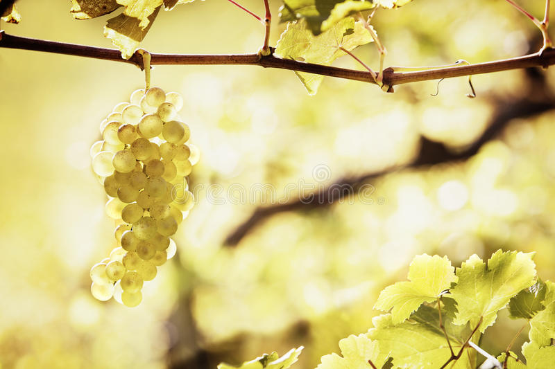 Green grapes hanging from vine. Close up of backlit bunch of green grapes in vineyard hanging from vine ready for harvest with ample of copyspace royalty free stock image