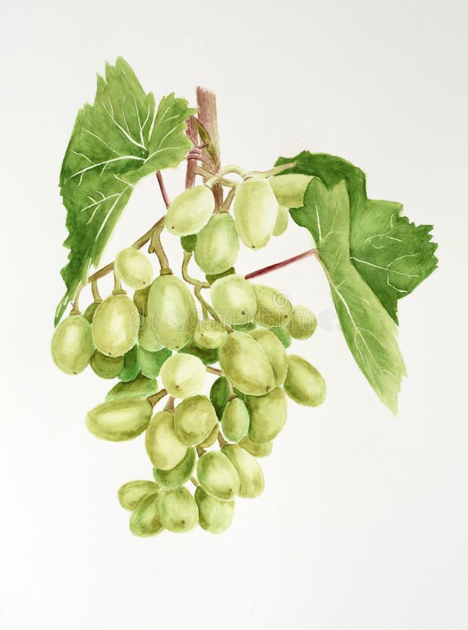 Green grapes with leaves. Watercolor drawing. royalty free stock photos