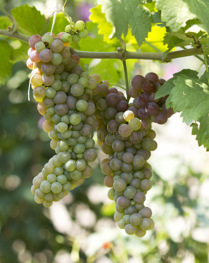 Green Grapes Ripen Detail Stock Images