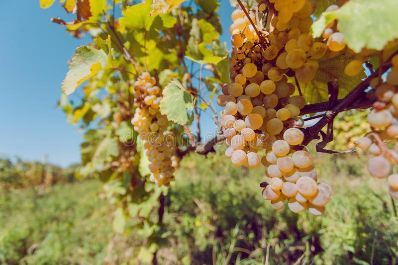 Green grapes ripening on the branch of farm. Vineyard with organic fruits shoots at harvest time. royalty free stock photos