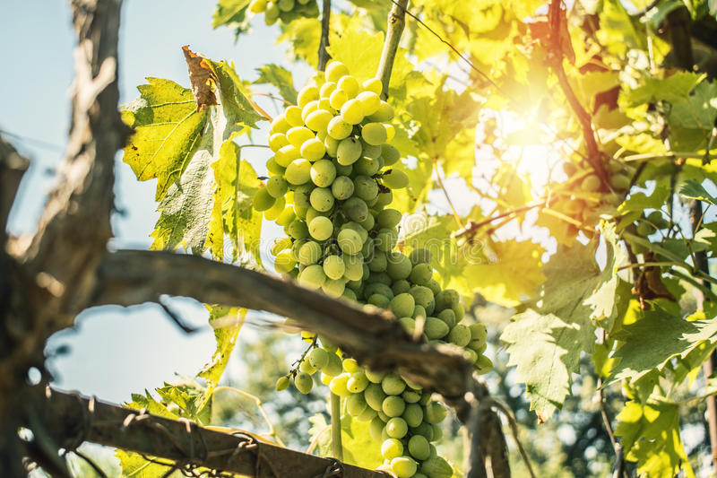 Green Grapes Summer fruits. Wine grapes royalty free stock photo