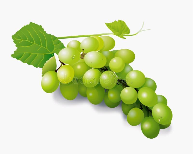 Green grapes vector illustration