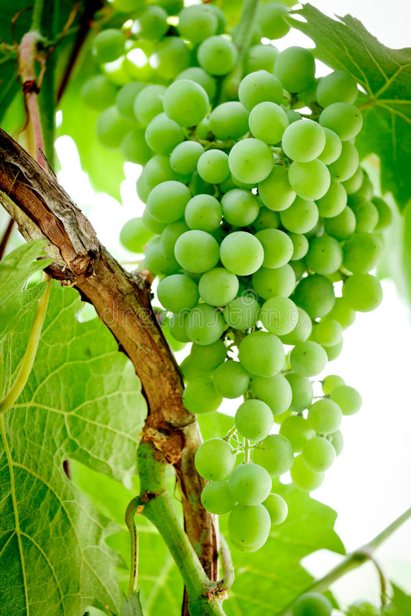 Green Grapes on the Vine. Bunch of green, or table grapes growing on the vine stock images