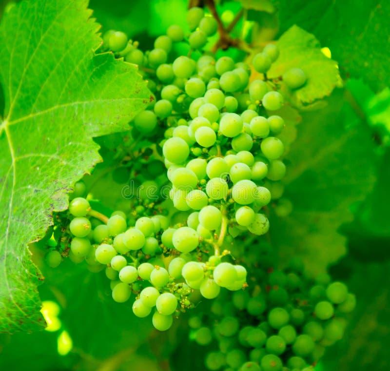 Green Grapes On Vine Free Public Domain Cc0 Image