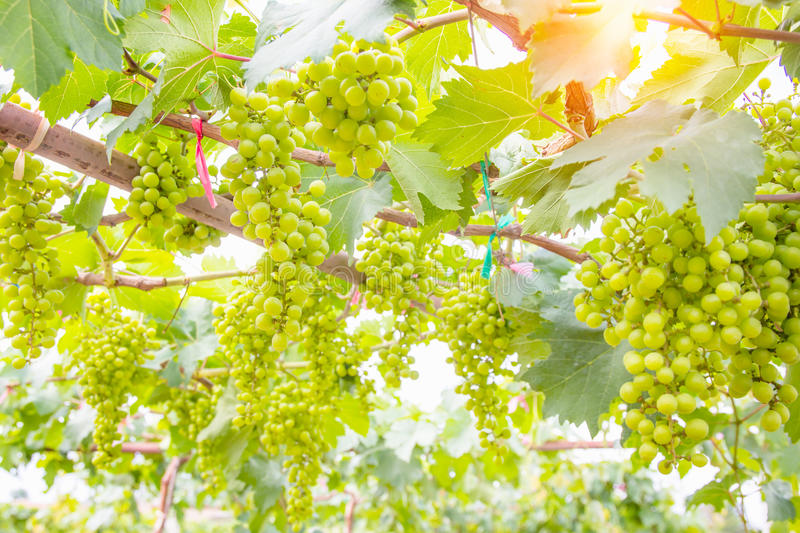 Green grapes on vine royalty free stock images