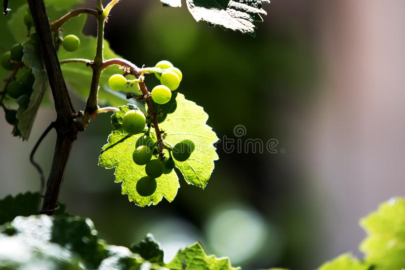 Green Grapes on vine with branch and transparent leaf in evening sun. Creamy background royalty free stock images