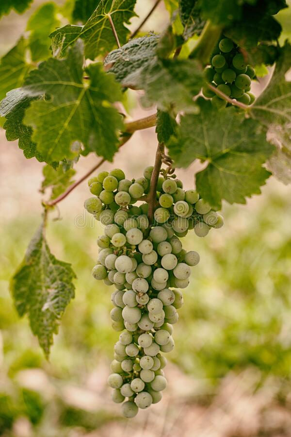 Green grapes on vine royalty free stock photography