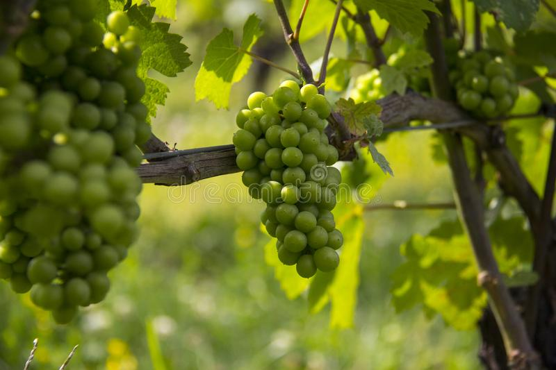 Green grapes on the vine. Vineyard, leaves, sunlight, shadow, Niagara-on-the-Lake, Ontario vines, wine bunches Canada out-of-focus stock image