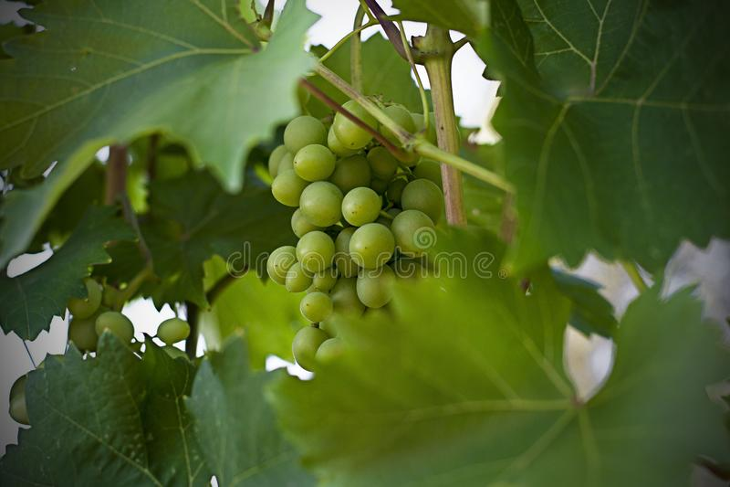 Green grapes on the vine. Sunlight. Autumn. Vintage green color photo. Green grapes on the vine. Sunlight. Autumn. Vintage. Green color photo stock images