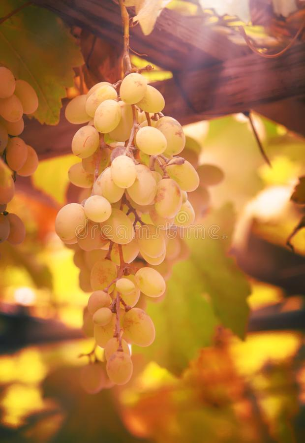 Green grapes on the vine, white wine variety in the vineyard, summer natural background, selective focus royalty free stock photo