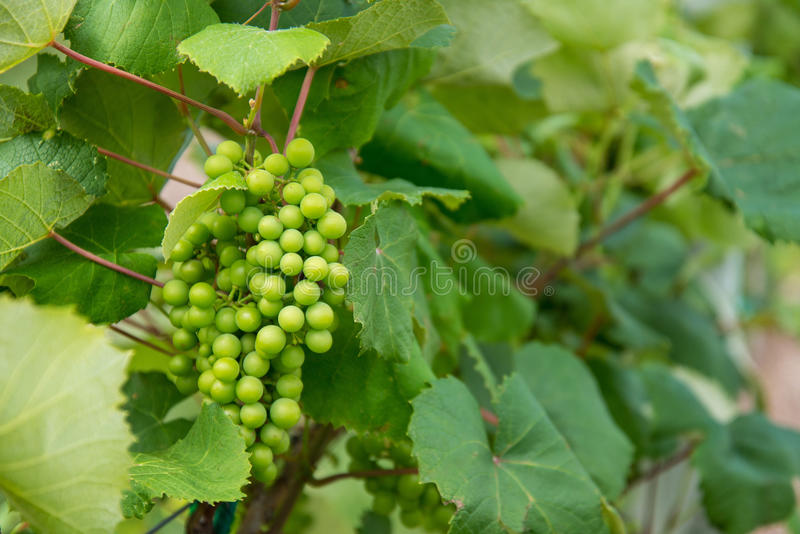 Green Grapes on Vinyard Vines. Green grapes growing on the vine in a vinyard. Single group of grapes against leaf background stock images