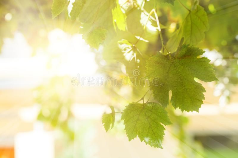 Green grapevine leaves background in sunny day royalty free stock photography