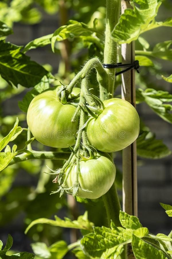 Green grapevine tomatoes. Green unripe tomatoes on the bush royalty free stock image