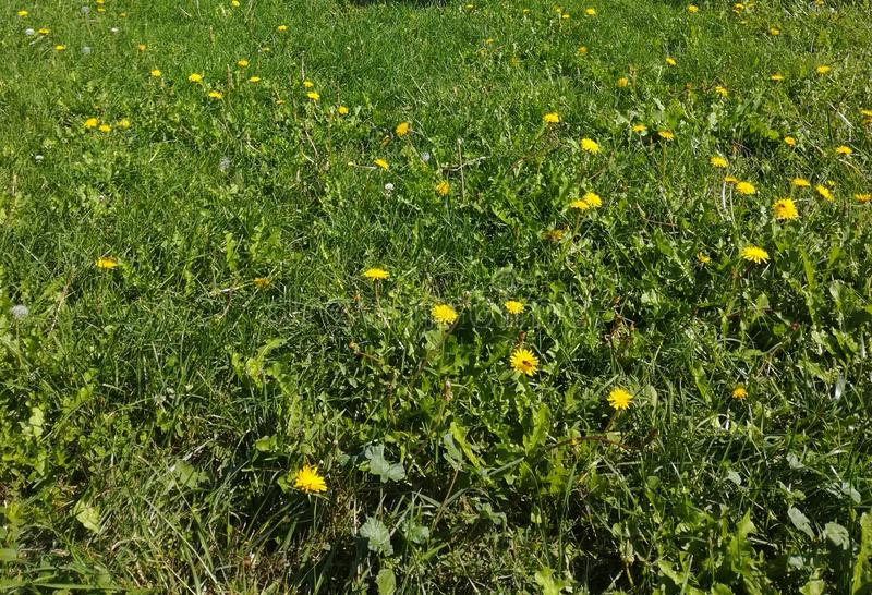 Green grash yellow flower plants. Fresh green grash and flowers royalty free stock images